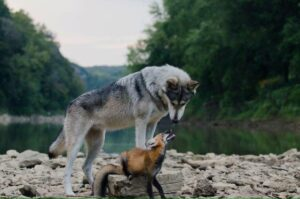 The Fox and the Wolf: an Unlikely Duo