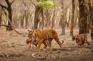 Tiger bite force