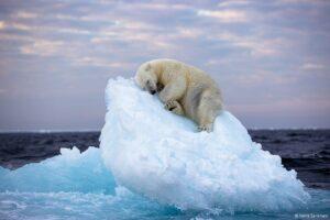 polar bear bite force