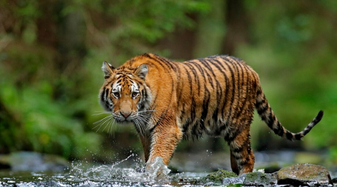 A brief study on Tiger Pattern