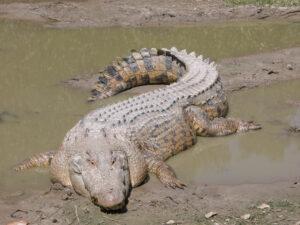 Saltwater Crocodile bite force